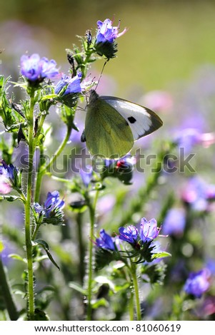 Echium vulgare (Viper's Bugloss or Blueweed ) with Large White (Pieris brassicae) butterfly