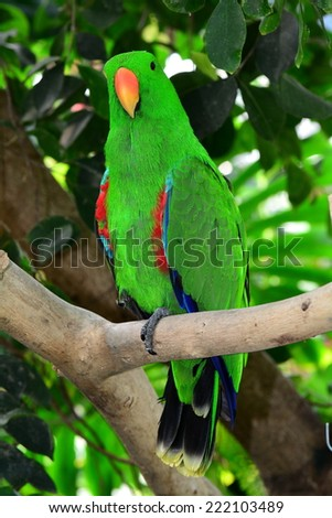 Eclectis parrot perched and poised for all cameras. - stock photo
