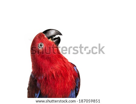 Eclectus Parrot head shot looking up with mouth open as if to speak isolated on white background - stock photo
