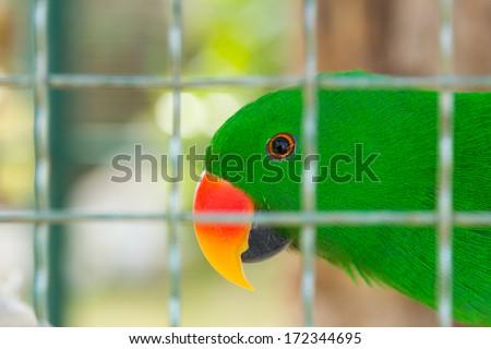 Eclectus parrot in bird cage closeup - stock photo