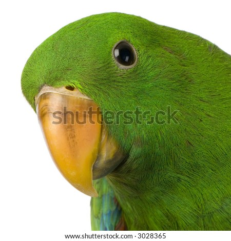 Eclectus Parrot in front of a white background