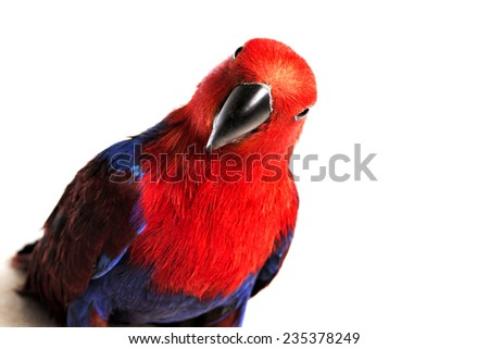 Eclectus Parrot looking forward isolated on white background - stock photo