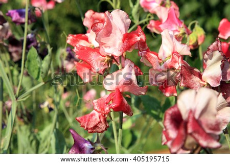 Eco rustic decoration in herb garden home. Sweet pea. - stock photo