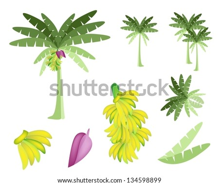 Ecological Concept, An Illustration Collection of Beautiful Tropical Banana Tree with Bananas and Banana Blossom - stock photo