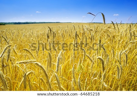 Ecological corn field in summertime landscape, Poland, Europe - stock photo