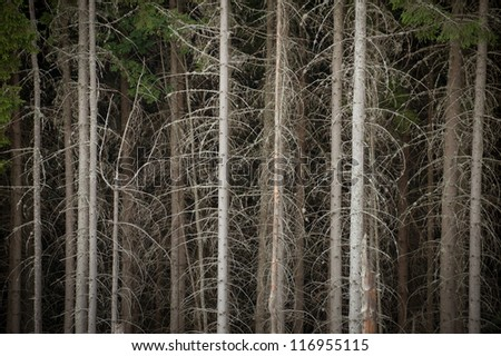 ecologically pure mountain dense spruce forest - stock photo