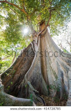 Ecology concept: giant banyan mahogany tree in forest of Lombok island, Indonesia - stock photo