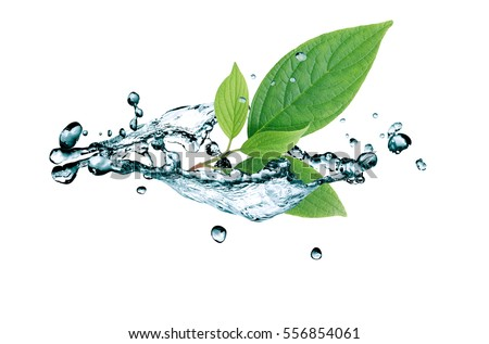 Ecology concept. Green leaves in water splash on white background