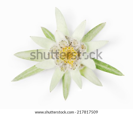 Edelweiss - stock photo