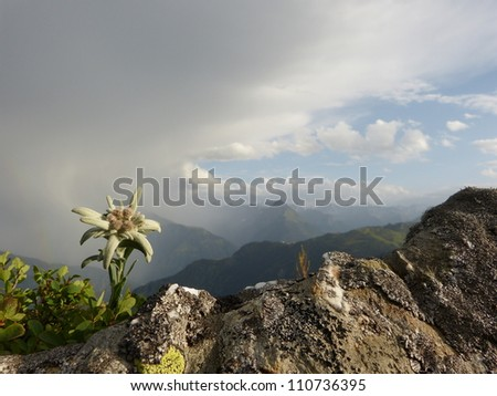 Edelweiss and thunderstorms in the Alps - stock photo