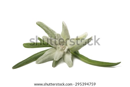edelweiss isolated on white background - stock photo