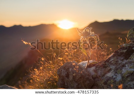 Edelweiss on rock in the evening sun in the Alps