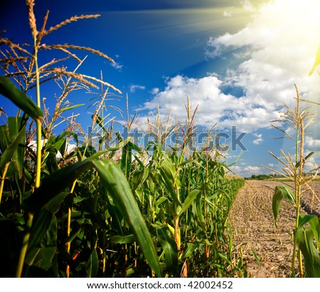 Edge of a corn field in the afternoon - stock photo