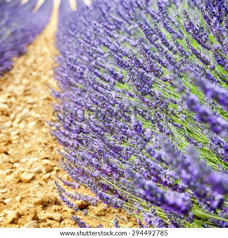 Edge of a lavender aisle on ocher ground