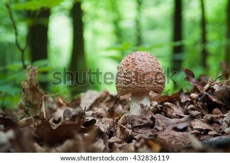 Edible Blusher fungi (Amanita rubescens) - stock photo