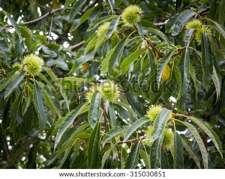 Edible chestnut tree - stock photo