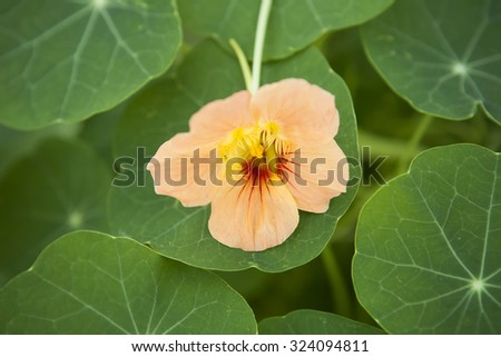 Edible Flower - stock photo