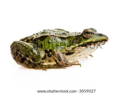 Edible Frog in front of a white background