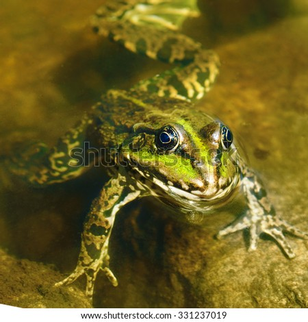 edible frog in muddy water - stock photo