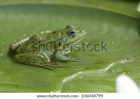 Edible frog on water