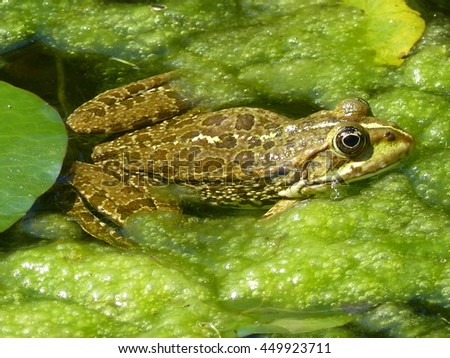 Edible frog (Pelophylax kl. Esculentus) in the pond.