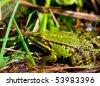 Edible Frog (Rana esculenta) - stock photo
