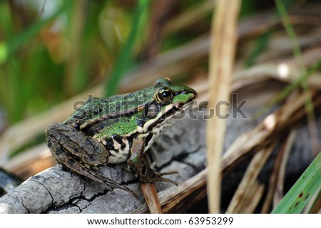 Edible frog (Rana Esculenta) - stock photo