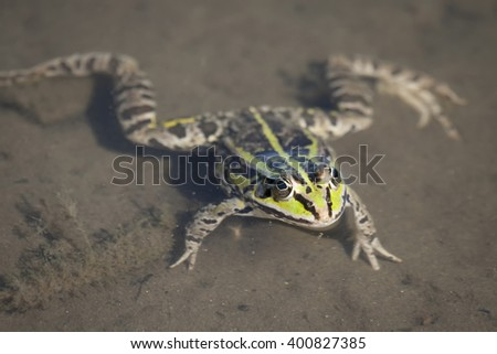 Edible green frog in the shallow water of lake. - stock photo