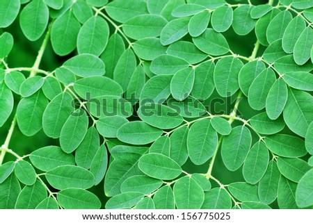 Edible moringa leaves background - stock photo