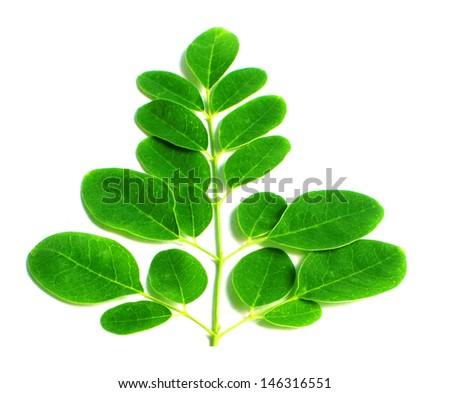 Edible moringa leaves over white background - stock photo