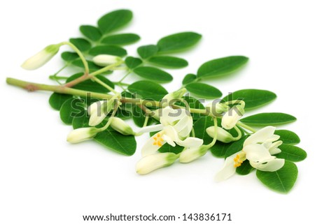 Edible moringa leaves with flower over white background - stock photo