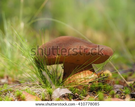 edible mushroom in the forest - stock photo