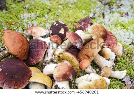 edible mushrooms in the forest - stock photo