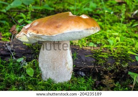 Edible mushrooms with excellent taste, Boletus edulis - stock photo