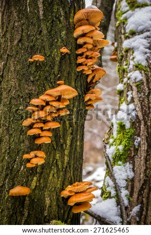 Edible mushrooms with excellent taste, Flammulina sp. - stock photo
