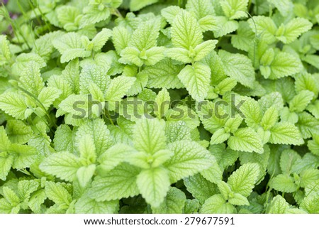 Edible Plants of fresh green mint - stock photo