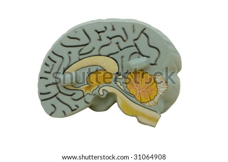 Educational model brain on white background, alarm clock - stock photo