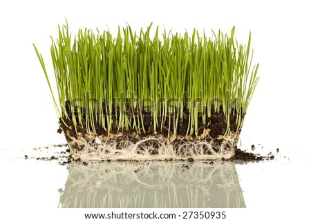 Educational visual aid of wheat blades with grains, roots and soil - isolated - stock photo