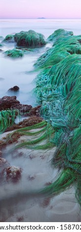 Eelgrass exposed during an extreme low tide in Santa Barbara, California. - stock photo