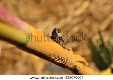 Efferia albibarbis on cane stalk with bee under its claws - stock photo