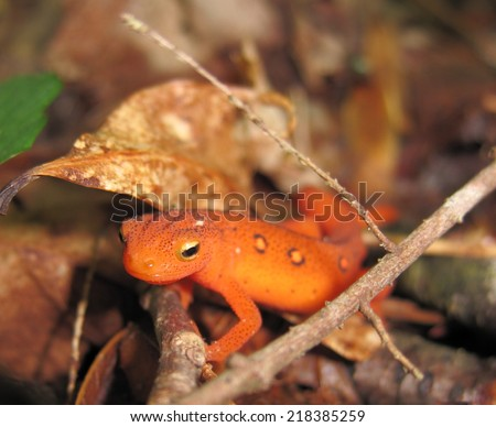 Eft (juvenile) of Eastern newt, Great Smoky Mountains National Park, Tennessee - stock photo