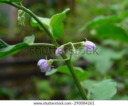 eggplant flowers - stock photo
