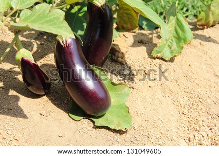 Eggplant fruits growing in the garden close up - stock photo