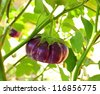 Eggplant on a tree in the garden. - stock photo