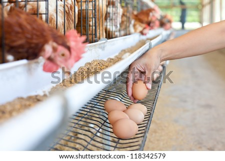 Eggs chicken farm - stock photo
