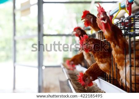 Eggs chicken farm. - stock photo