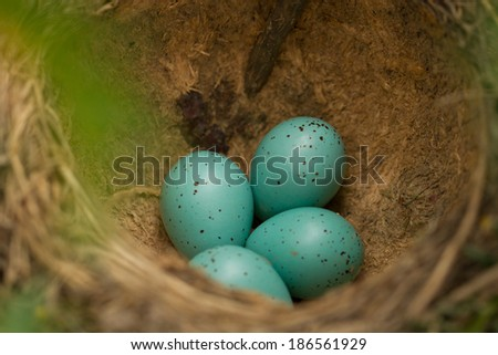 eggs in a nest of a song thrush - stock photo