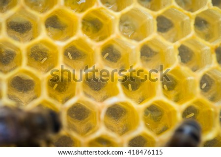 Eggs in the wax comb of the honey bee (Apis mellifera) - stock photo