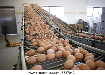 Eggs moving on the production line. - stock photo