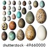Eggs of birds in front of white background. - stock photo